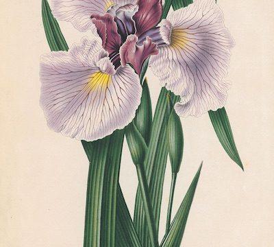 Japanse Iris Zwarte Tulp Nederlandse Flora